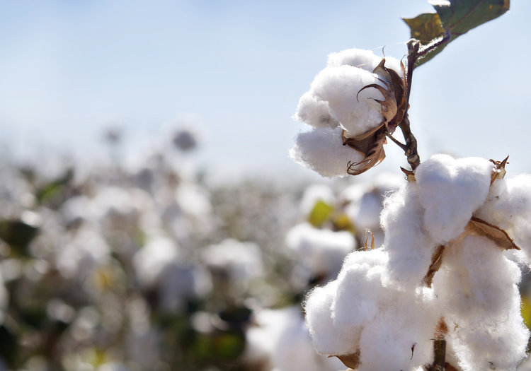 cotton plant, organic cotton, fast fashion, pixelpool